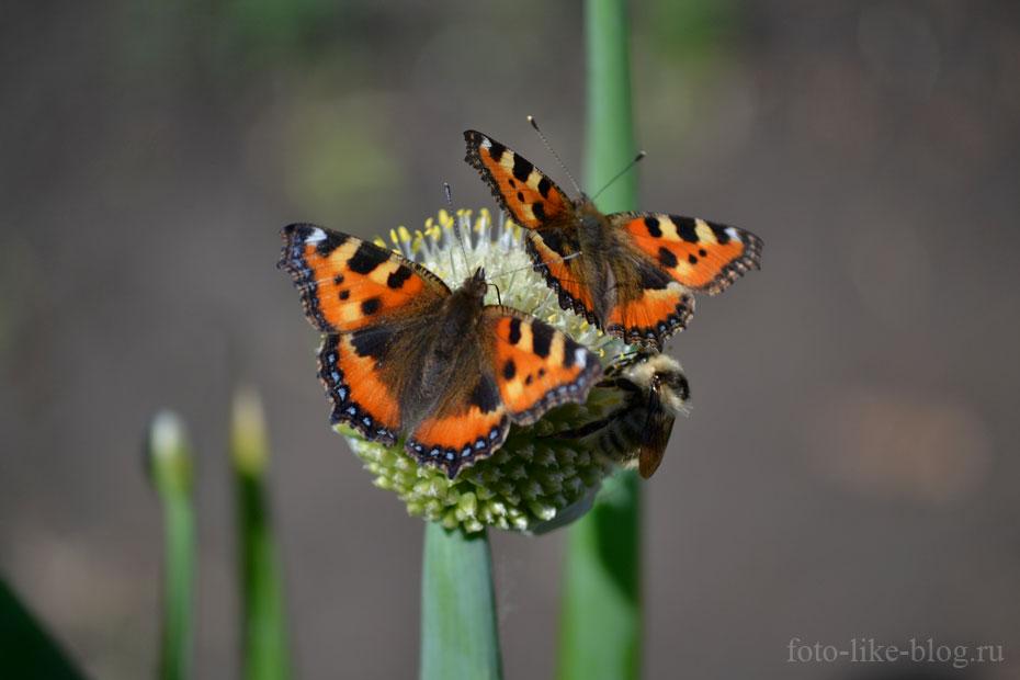 Бабочки и пчела: пример фото с размытием фона на открытой диафрагме