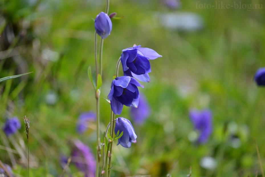 Водосборы - красивые цветы