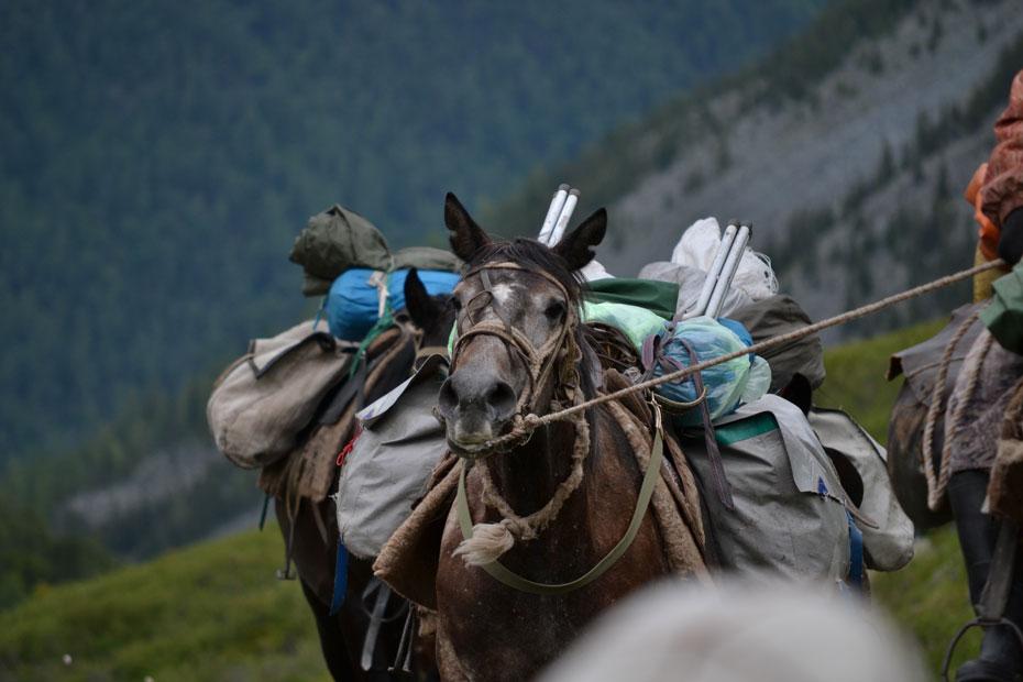 Лошади, несущие палатки и еду в походе к Белухе