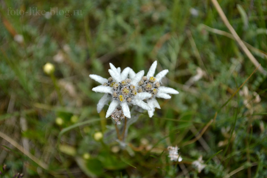 Цветы эдельвейсы фото