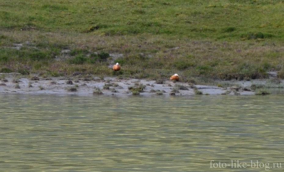 Гуси на озере Ак-Кем