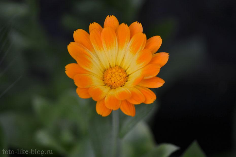 БОКЕ, пример фотографии цветка, Nikon d3100