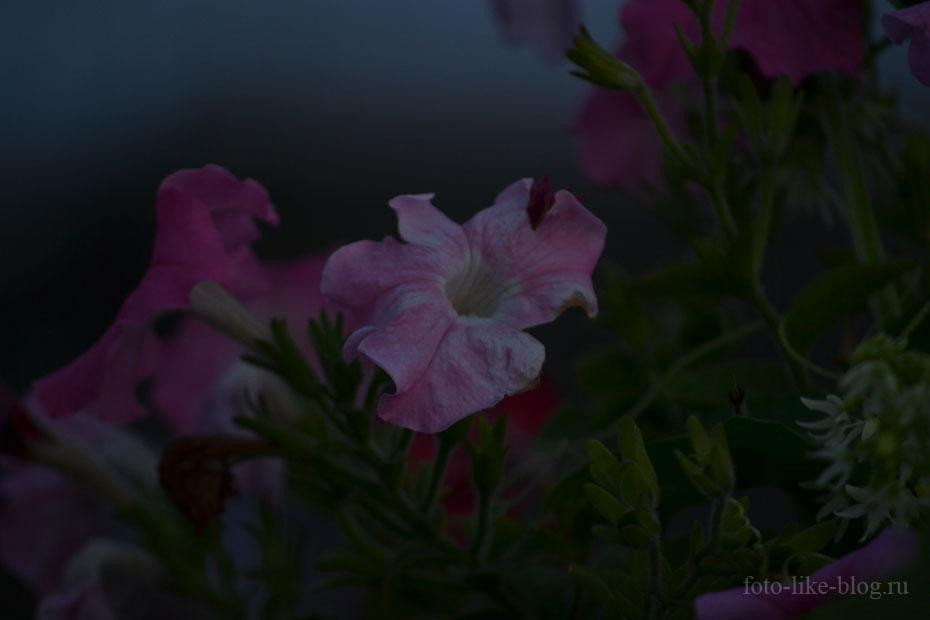 Пример фото петунии на Nikon d3100