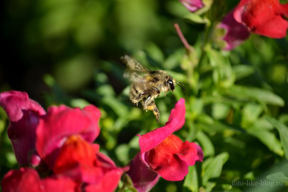 Фото пчелы в полете, Nikkor 55-200mm f/4-5.6G