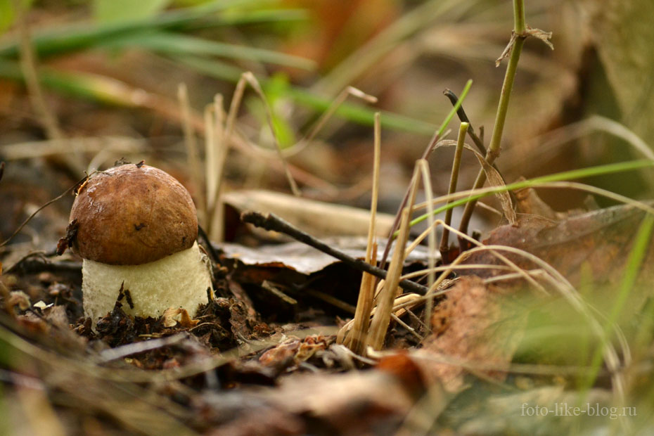 Молодой белый гриб