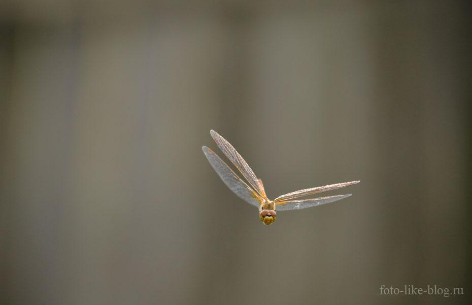 Фото стрекозы на Nikon d3100